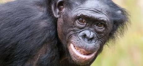 'Bijzondere' aap Zuani (29) overleden in Apenheul