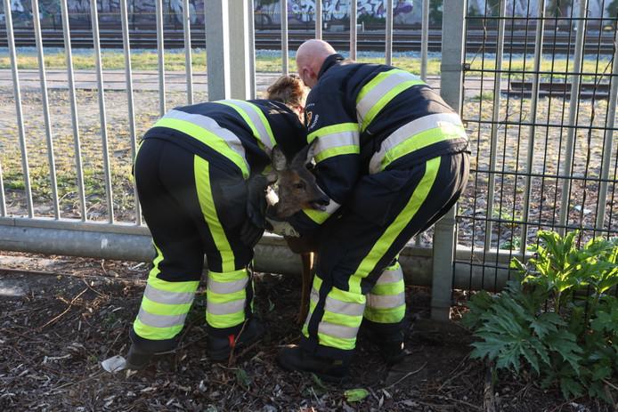Brandweerlieden bevrijden een beklemde ree in Boxtel.