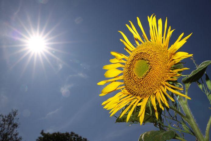 Une fleur de tournesol sous un soleil de plomb.