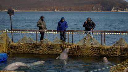 """Rusland onder vuur voor """"dumping"""" van walvissen uit """"walvisgevangenis"""""""