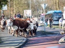 Kudde Hereford-runderen via de weg terug het weiland in