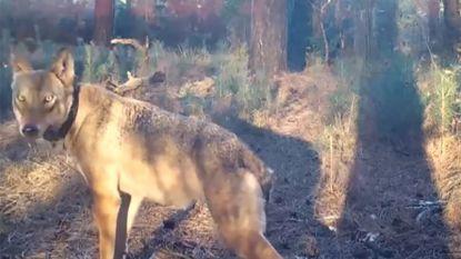 """""""We gaan ook August kwijtspelen"""": natuurverenigingen eisen jachtverbod in wolvengebied"""