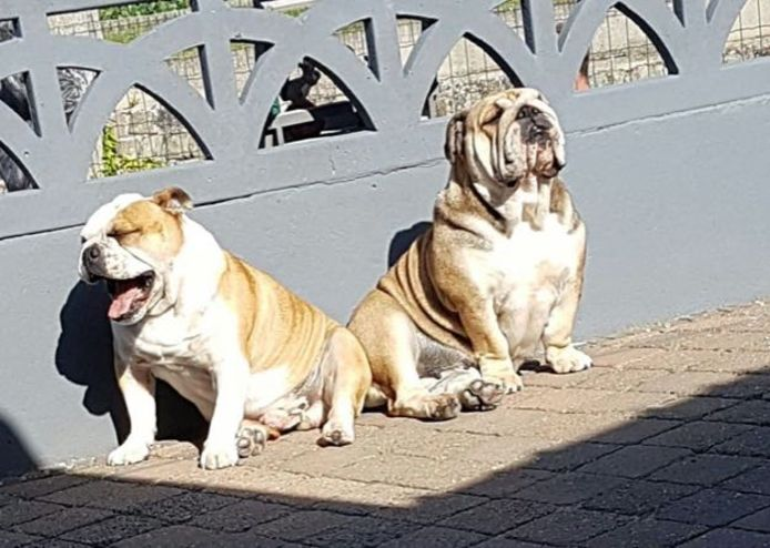 De twee Engelse bulldogs Max en Maxima.
