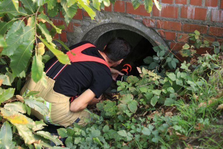 De brandweer zocht in de riool, maar daar was het dier intussen uit gekropen