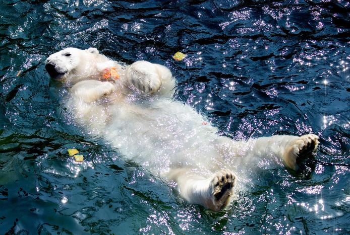 Ours polaire au zoo de Hannovre