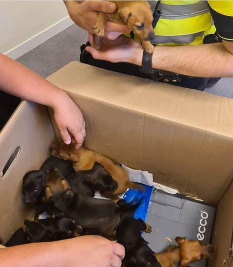 Gestolen puppy's terug in Beers: 'Ik heb ze direct een halve liter melk gegeven'