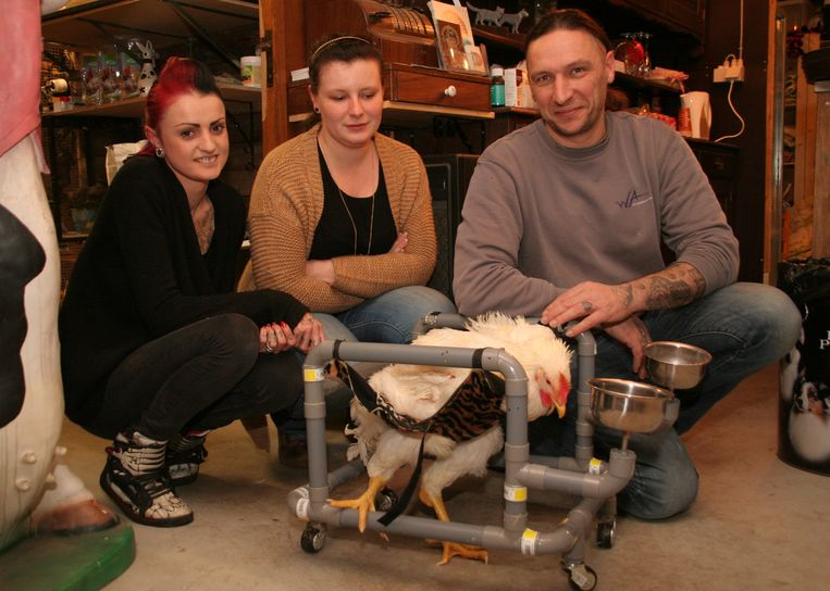 Ines Nicque, Hannelore Michiels en Bart Cosyns met hun kip in zijn rolstoel.