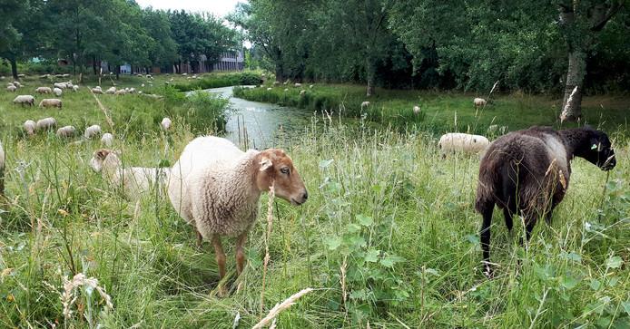 Schaapjes zover het oog reikt, intussen al bekend gezicht in Roosendaal hier vlakbij het Dijkcentrum. Schapen worden gebruikt om het gras kort te houden in de Roosendaalse wijken.   Foto Alfred de Bruin.