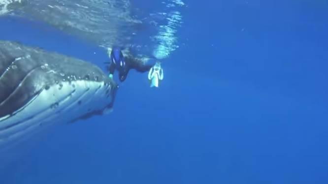 Spectaculaire beelden: bultrugwalvis redt snorkelaar van enorme tijgerhaai