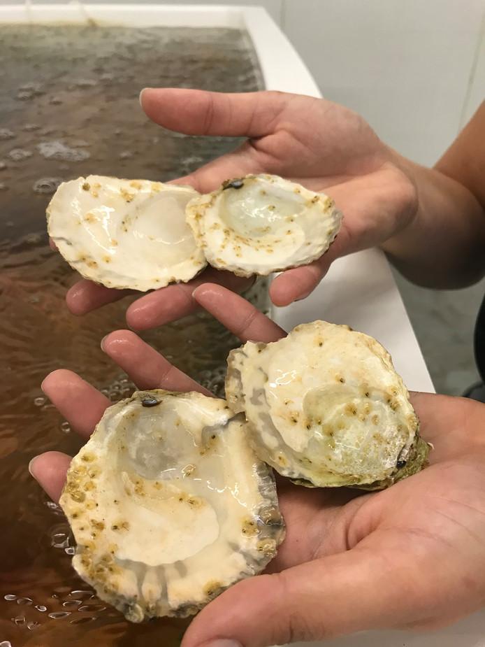 Baby-oesters. Foto ter illustratie.