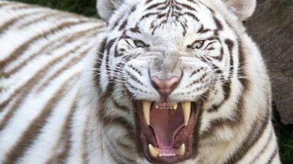 Tijger doodt opzichter in Japanse zoo