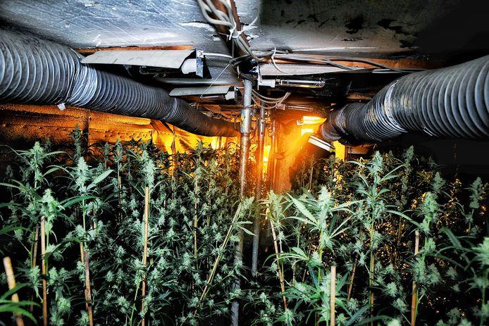 De wietplanten in de ondergrondse ruimte.