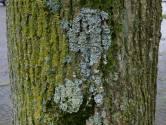 Korstmossen groeien naar hartelust, zijn de stadsbomen ziek?