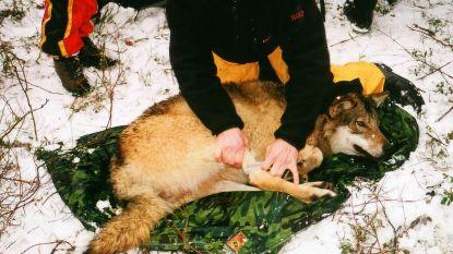 Recordaantal wolven gedood in Noorwegen