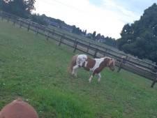 Eigenaar loslopende pony's gevonden