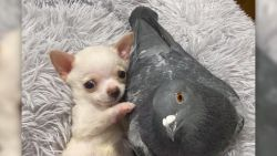 Schattig! Hond en duif worden beste vrienden in dierenasiel