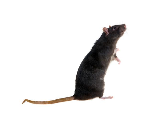 In Meierijstad werden dit jaar al veel meer zwarte ratten gesignaleerd dan in 2018, 22 tegenover 3 vorig jaar.