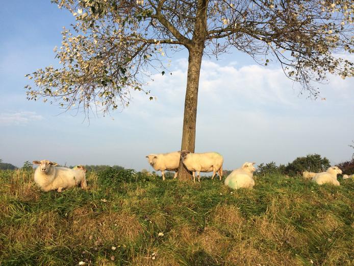 Dit plaatje MOEST ik gewoon vastleggen: de schaapjes liggen zo vredig in het najaarszonnetje dat het wel lente lijkt!