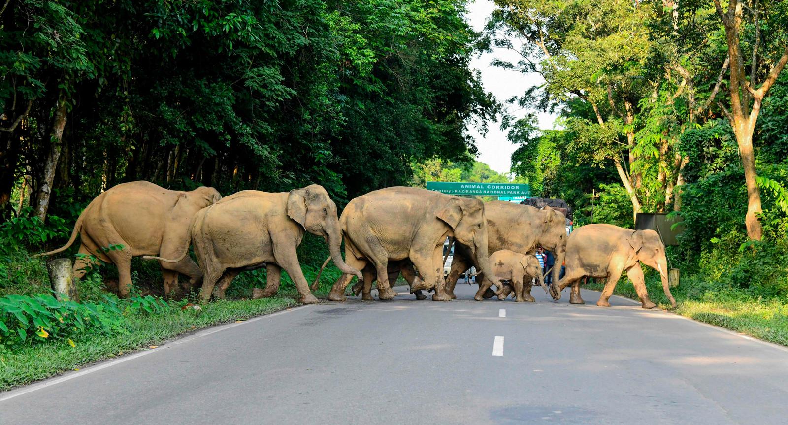 Wilde olifanten komen in India steeds vaker 'in botsing' met de oprukkende mens. Hun leefgebieden worden kleiner, routes die zij al generaties gebruiken, worden doorkruist door spoor- en snelwegen. Foto Biju BORO / AFP