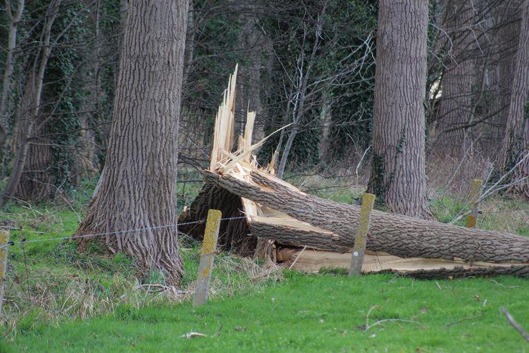 Afgeknakte boom door de storm: hier in Sint-Kruis
