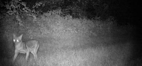 'Wolf' die schapen doodde bij Duits-Nederlandse grens blijkt goudjakhals
