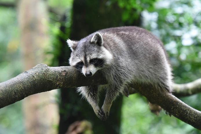 Wildlife Biesbosch, Kleine foto Shutterstock Wasbeer
