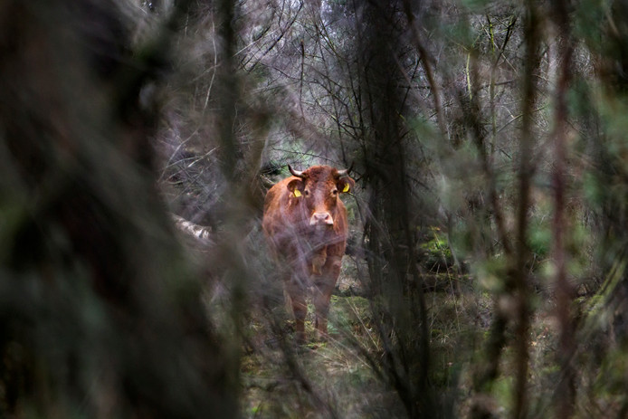 De losgebroken koe Hermien bivakkeert al zes weken in de bossen van Lettele.