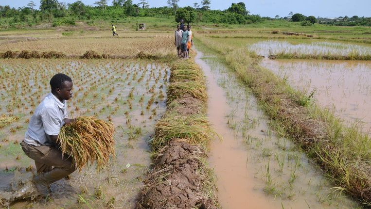 Een boer tijdens de oogst in Ivoorkust. Beeld afp