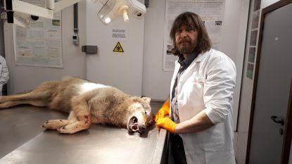 Doodgereden wolf op autopsietafel bij INBO