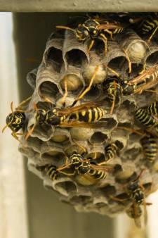 Wespenplaag in Nederland, en het wordt alleen maar erger