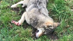 Tweede wolf in Vlaanderen doodgereden in Limburg