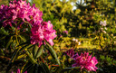 De rododendron.