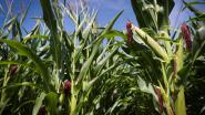 Jeugdbeweging beschoten door boze boer tijdens tocht door maïsveld