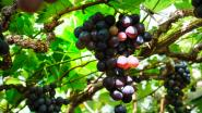 Geen Druivenfestival, maar serristen stallen hun druiven voortaan wel op wekelijkse markt uit