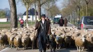"""VIDEO. Schapenboer en zijn kudde bezetten drukke baan voor meer subsidies: """"We gaan dit alle dagen doen, tot we zekerheid hebben"""""""