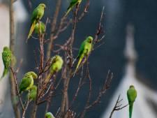 Gelukje voor fruittelers; de Groene Hart-peer is te ver vliegen voor halsbandparkiet