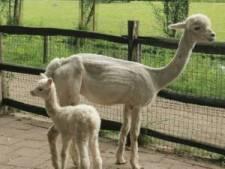 Lief! Kleine alpaca geboren in Plaswijckpark