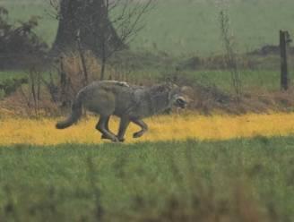 Meldpunt Welkom Wolf telt meer dan 50 wolvenwaarnemingen in voorbije jaar