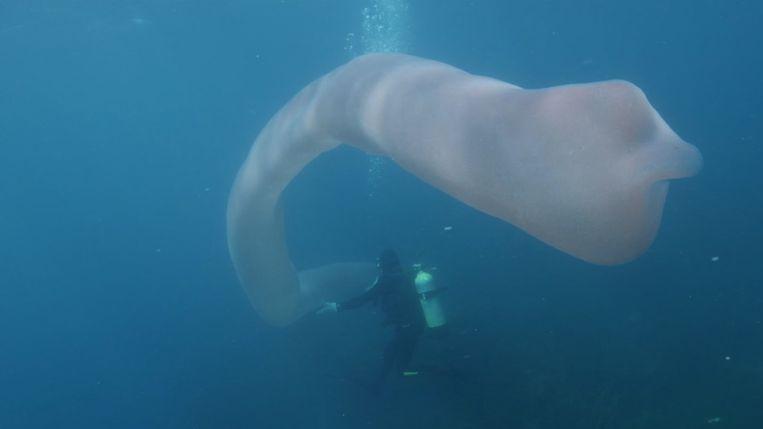Voor de kust van het Nieuw-Zeelandse eiland White Island hebben duikers een zeeworm gefilmd van meer dan 8 meter lang.