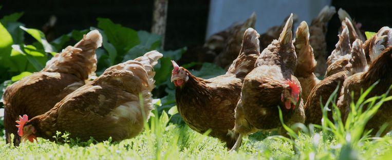 Een van de pijnpunten in de onderhandelingen is het aantal kippen dat maximaal in een biologische stal gehuisvest mag worden. Beeld ANP
