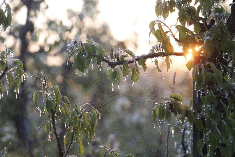 Een laag ijs beschermt de bloesemknoppen van fruitbomen in de Betuwe. De telers voorkomen door beregening dat nachtvorst de knoppen beschadigt.