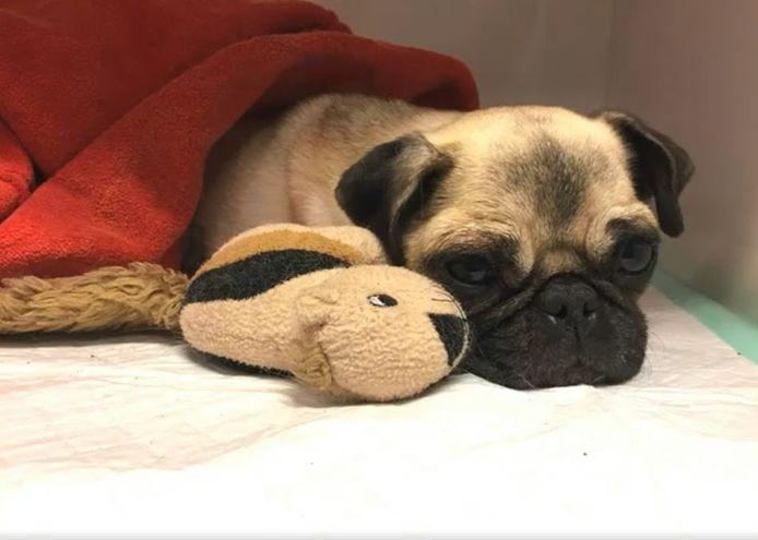 Lola de mopshond werd ernstig gewond gevonden in Dordrecht. Inmiddels gaat het beter met haar.