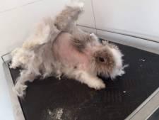 Coronaklitten zo dik als tapijt nu trimsalons dicht zijn, angst voor schokkende gevolgen voor huisdieren