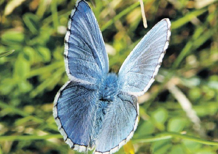 Een adonisblauwtje. © Koos Dijksterhuis Beeld