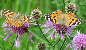 Vlinders in Thijsse's Hof