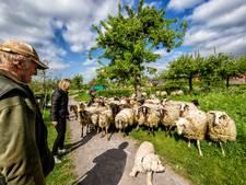 Benschop zet grazende schapen in voor biodiversiteit