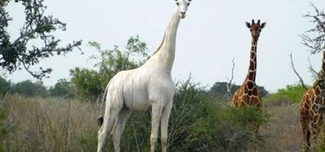 Une rarissime girafe blanche et son girafon tués au Kenya