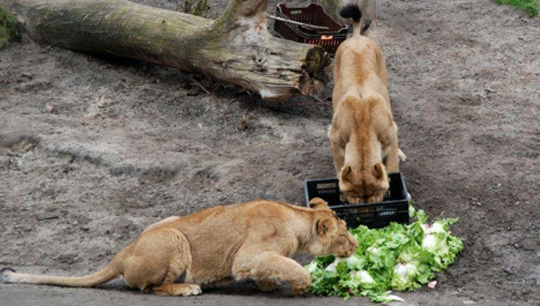 In 2008 beweerde Diergaarde Blijdorp in Rotterdam voor alle dieren over te stappen op vegetarische voeding, het bleek een 1-aprilgrap. © gpd Beeld