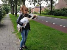 Informatieavond over zwanensterfte stuit op verzet bij Nieuwegeiners: 'Na 2,5 maand?'