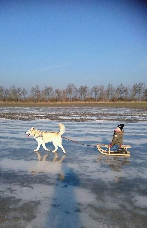 Hayley Blanker met husky Chuck, heerlijk aan het genieten op een bevroren plas aan de Zuidbeekseweg in Vlissingen.
